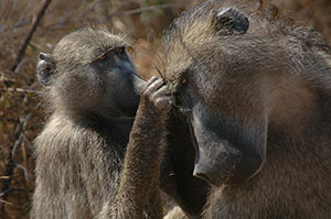 Baboons. Source: Wikimedia Commons, Public Domain, author: Tom Adams